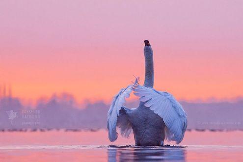Обои Лебедь на воде, ву Roeselien Raimond