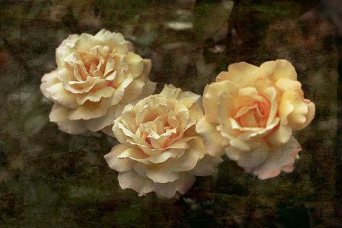 Обои Три кремовых розы на фоне с эффектом старой фотографии, by GaL-Lina