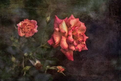Обои Розовые розы на фоне с эффектом старой фотографии, by GaL-Lina