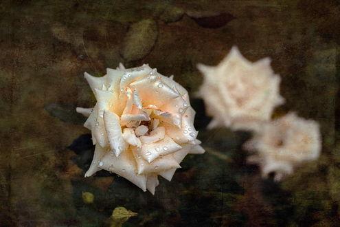 Обои Белая роза с каплями, на размытом фоне с розами с эффектом старой фотографии, by GaL-Lina