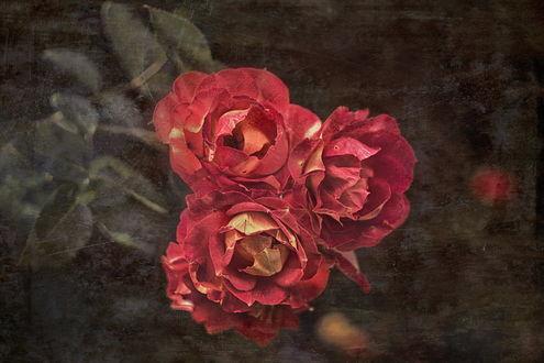 Обои Бутоны красных роз на размытом фоне с эффектом старой фотографии, by GaL-Lina