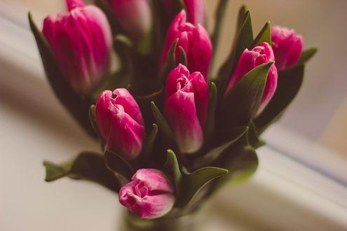 Обои Розовые нераскрывшиеся тюльпаны
