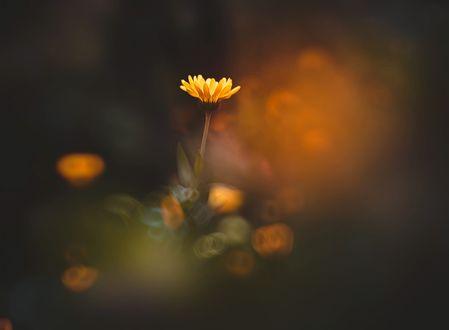 Обои Желтые цветы на размытом фоне, фотограф Kristina Manchenko