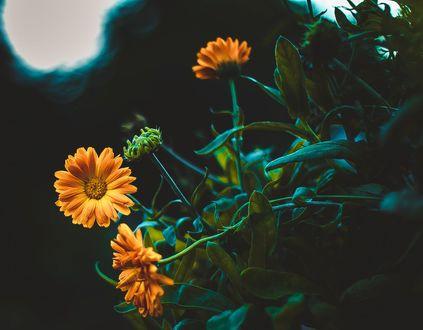 Обои Цветы ноготков на размытом фоне, фотограф Kristina Manchenko