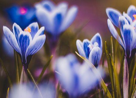 Обои Голубые крокусы на размытом фоне, фотограф Kristina Manchenko
