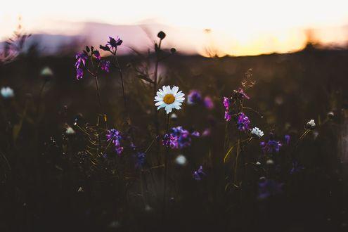 Обои Фиолетовые цветы и ромашка на размытом фоне, фотограф Kristina Manchenko