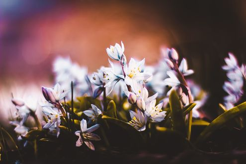 Обои Белые цветы на размытом фоне, фотограф Kristina Manchenko