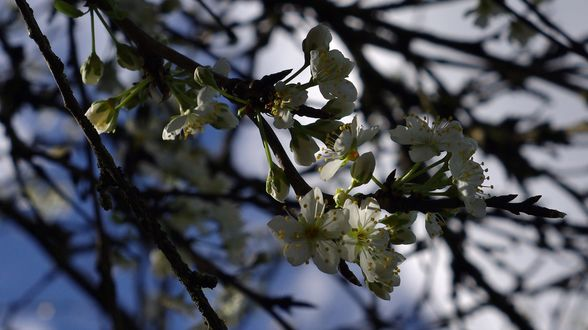Обои Весенняя цветущая ветка, фотограф Nancy Andersen
