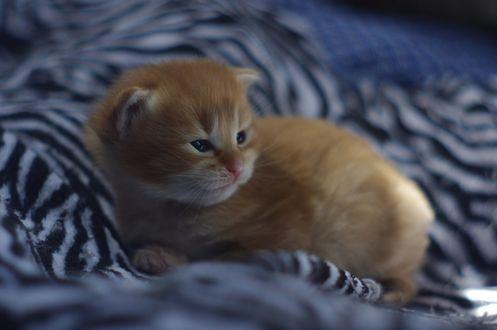 Обои Маленький рыжий котенок, фотограф Nancy Andersen