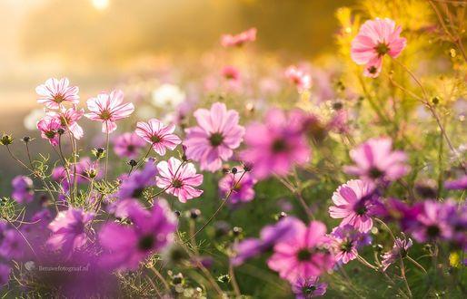 Обои Поле розовой космеи, фотограф Marinus Keyzer de