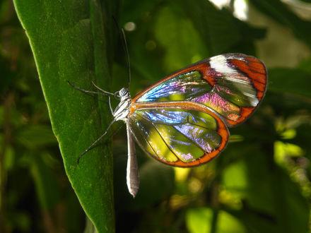 Обои Бабочка с разноцветными прозрачными крылышками сидит на листике