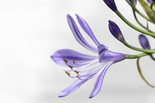 Обои Цветок агапантус африканский