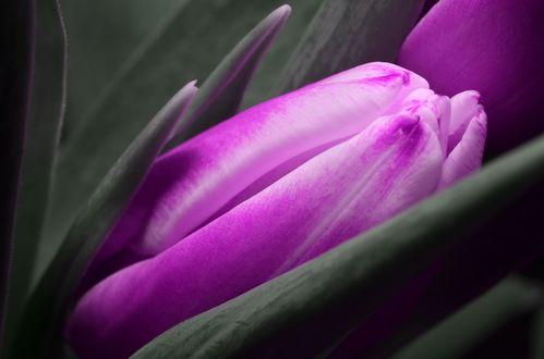 Обои Фиолетовый тюльпан крупным планом
