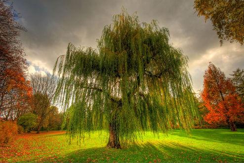 Обои Одиноко растущая ива на фоне других осенних деревьев