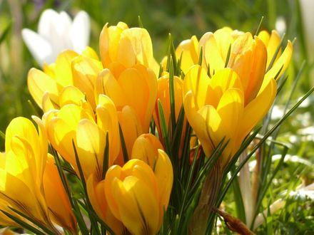 Обои Весенние желтые крокусы