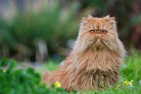 Обои Смешной персидский кот смотрит на нас остолбеневшими глазами
