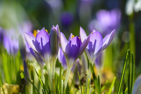 Обои Весенние крокусы в солнечном свете, by lueap