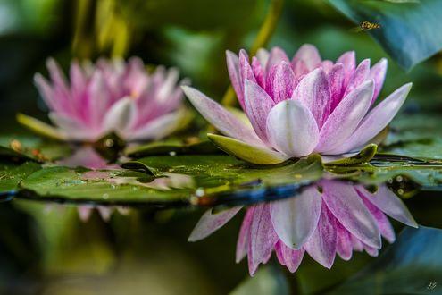 Обои Розовые лотосы на воде, by lueap