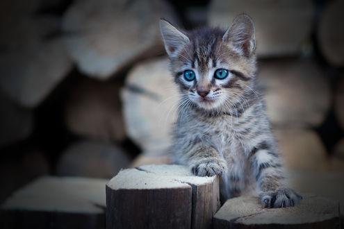Обои Голубоглазый серый котенок, фотограф Коротун Юрий