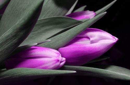 Обои Сиреневые весенние тюльпаны на черном фоне