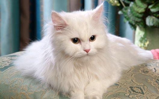 Обои Пушистая белая кошка лежит на подушке