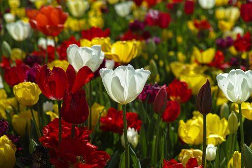 Обои Яркие разноцветные тюльпаны