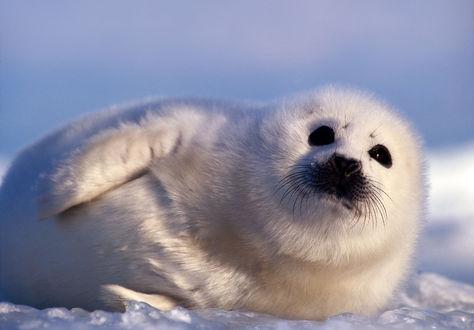 Обои Белый тюлень отдыхает, лежа на боку