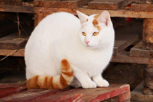 Обои Белый кот с рыжим хвостом, by Lalingla