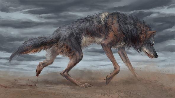 Обои Исхудавший, раненный волк бредет по песку