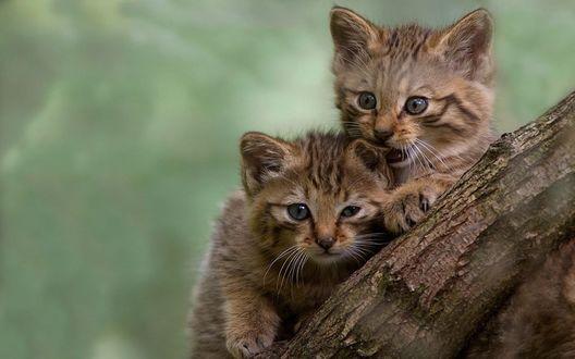 Обои Двое диких котят на дереве
