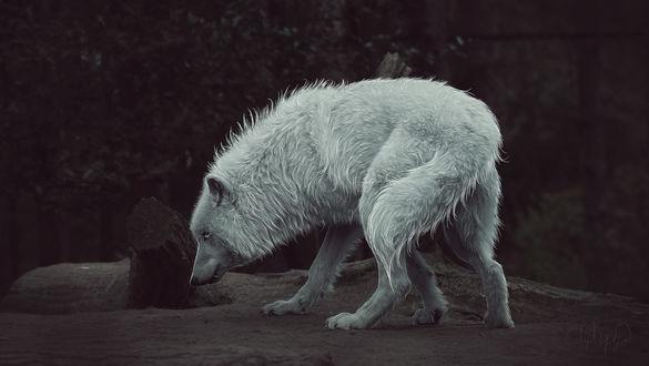 Обои Белый волк на фоне природы, by Amphispiza