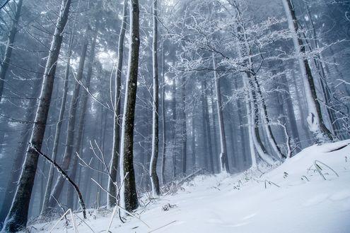 Обои Зимний лес в снегу