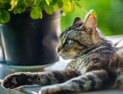 Обои Серая кошка с голубыми глазами лежит у горшка с цветами, фотограф Janko Ferlic
