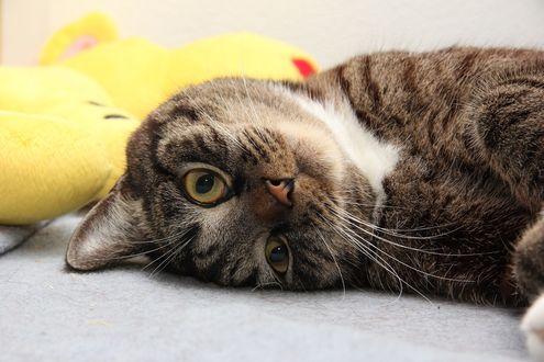 Обои Кошка смотрит на нас вверх ногами, фотограф Иван Капиносов