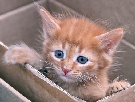 Обои Голубоглазый котенок в коробке