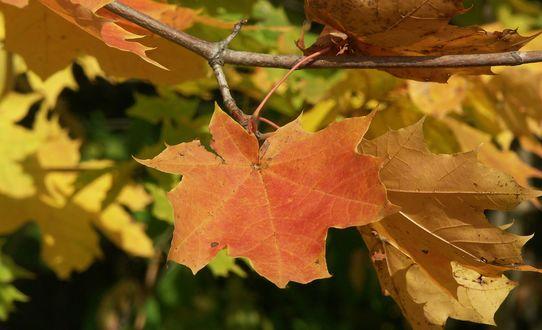 Обои Осенние листья клена на ветке