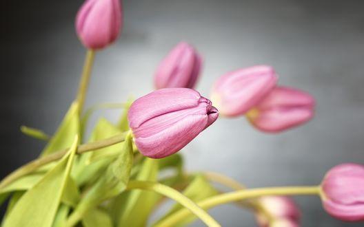Обои Розовые тюльпаны на размытом, сером фоне