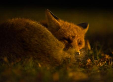 Обои Спящая в траве лиса, фотограф Jarkko Järvinen