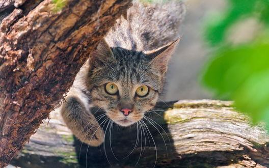 Обои Серый полосатый кот выглядывает из-за дерева