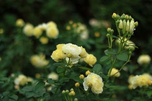 Обои Кусты желтых роз, by yopparainokobito