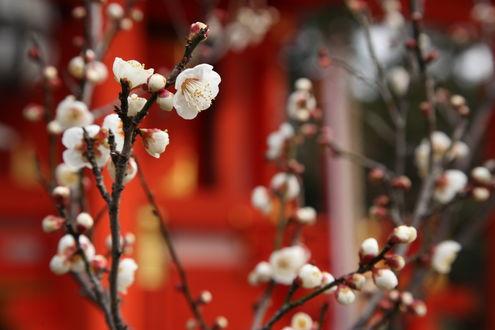 Обои Весенние цветущие ветки дерева, by yopparainokobito