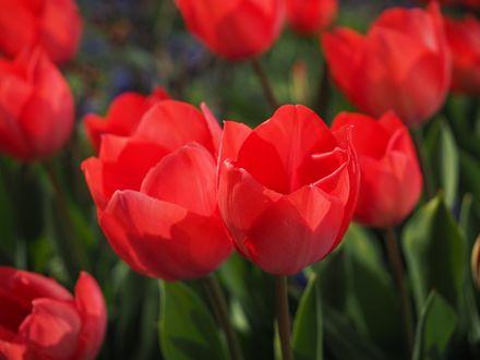 Обои Красные яркие тюльпаны
