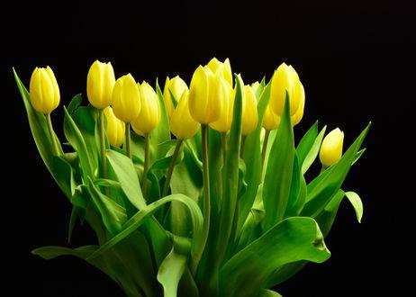 Обои Желтые тюльпаны на черном фоне