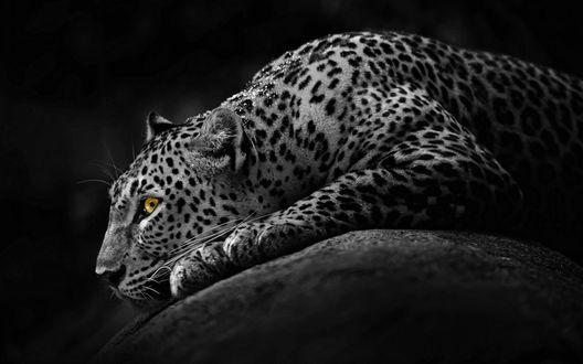 Обои Притаившийся леопард с желтыми глазами лежит на камне