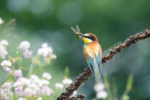 Обои Птичка со стрекозой в клюве, by WildGepard