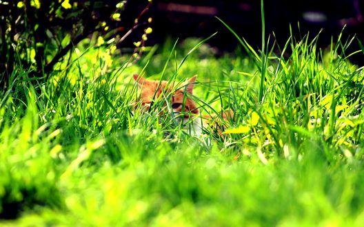 Обои Рыжий кот притаился в траве