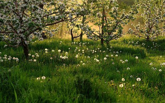 Обои Цветушие деревья и одуванчики в траве