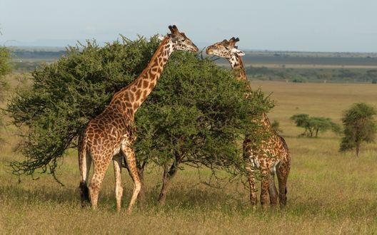 Обои Два жирафа объедают листья на дереве в саванне