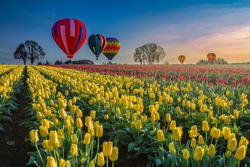 Обои Воздушные шары над полем с желтыми тюльпанами, фотограф William Lee