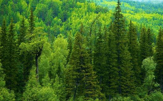 Обои Таежный лес в России